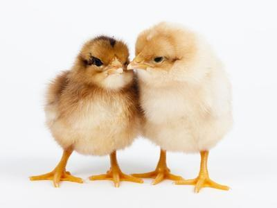 Day-old chicks-Frank Lukasseck-Photographic Print