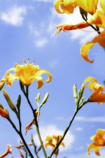 Daylilies-Alan Hausenflock-Photographic Print