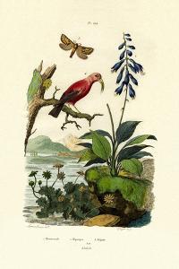 Daylily, 1833-39