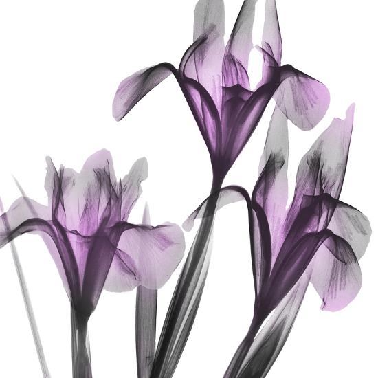 Dazzling Iris-Albert Koetsier-Photographic Print