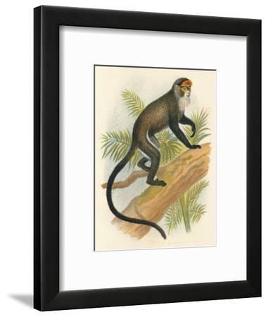 'De Brazza's Guenon', 1897-Henry Ogg Forbes-Framed Giclee Print
