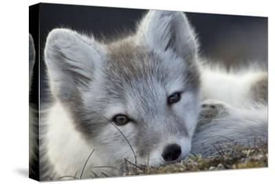 Arctic Fox (Alopex Lagopus) Portrait, Trygghamna, Svalbard, Norway, July by de la