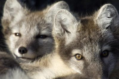 Two Arctic Foxes (Alopex Lagopus) Trygghamna, Svalbard, Norway, July 2008 by de la
