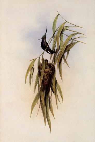 De Lalande's Cephalepis Delalandi-John Gould-Giclee Print