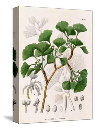 Salisburia adianthifolia