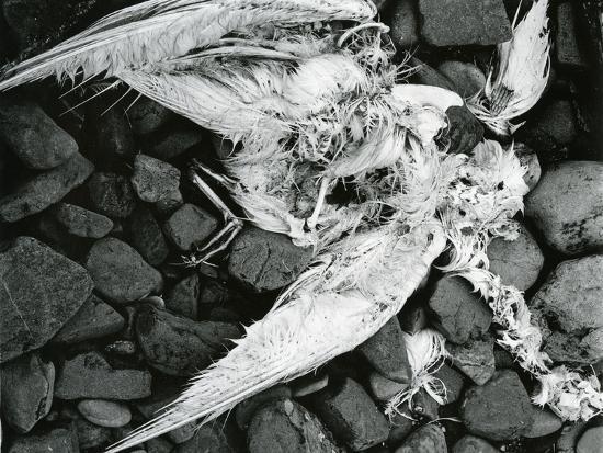 Dead Bird, Bone, Rock, c. 1970-Brett Weston-Photographic Print