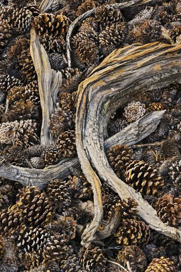 Dead branches and pine cones from ancient bristlecone pine tree, White  Mountains, California  Great Photographic Print by Adam Jones   Art com