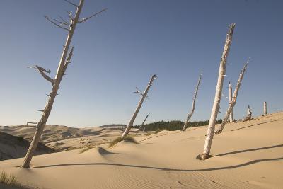 Dead Conifer Trees in Sand Dunes Along John Dellenback Trail, Oregon Dunes National Recreation Area-Phil Schermeister-Photographic Print