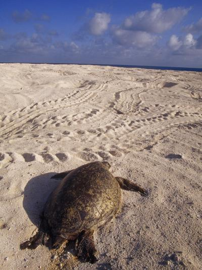 Dead Endangered Green Sea Turtle in Sand on a Barren Nesting Island-Jason Edwards-Photographic Print