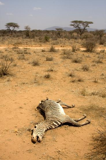 Dead Grevy's Zebra (Equus Grevyi) Most Likely the Result of the Worst Drought (2008-2009)-Lisa Hoffner-Photographic Print