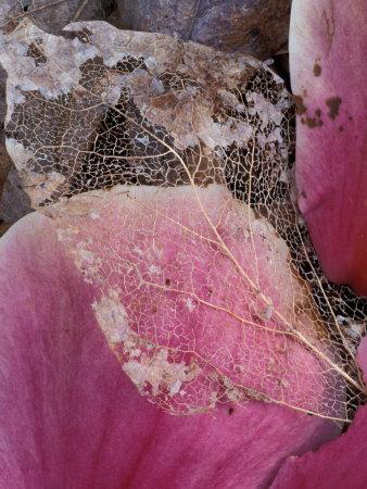 Dead Leaf, Seattle, Washington, USA-William Sutton-Photographic Print