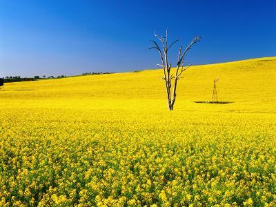 Dead Tree in Field of Flowering Canola, Cootamundra, New South Wales, Australia-Ross Barnett-Photographic Print