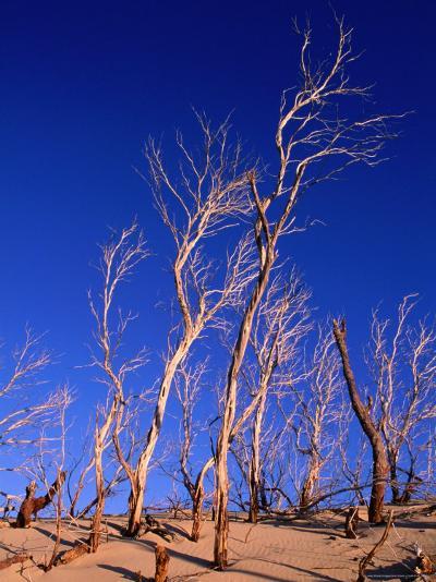 Dead Trees in Sand Dunes at Sunrise, Croajingolong National Park, Victoria, Australia-Grant Dixon-Photographic Print