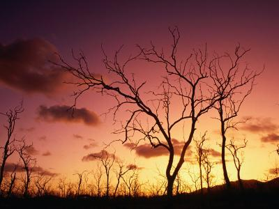 Dead Trees Silhouetted at Sunset, Airlie Beach, Queensland, Australia-John Banagan-Photographic Print