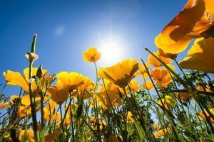 Yellow Poppies in A Texas Vineyard by Dean Fikar