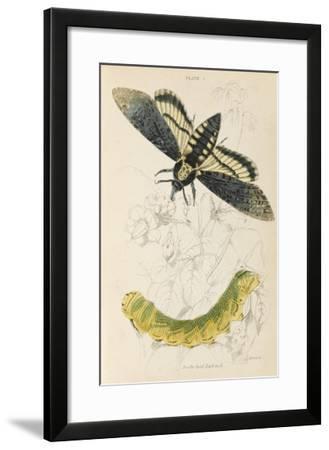 Death's Head Hawk Moth with its Caterpillar--Framed Giclee Print
