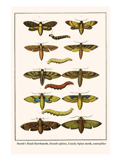 Death's Head Hawkmoth, Occult Sphinx, Guady Spinx Moth, Caterpillar Art  Print by Albertus Seba | Art com
