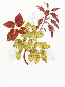 Coleus Collage by Deborah Kopka