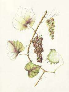 Concord Grapes by Deborah Kopka