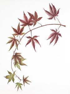 Japanese Maple by Deborah Kopka
