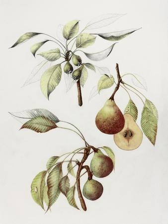 Pine Street Pears