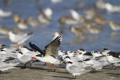 USA, Fort De Soto Park, Pinellas County, St. Petersburg, Florida. A black skimmer preparing to fly.