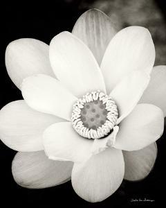 Lotus Flower III by Debra Van Swearingen