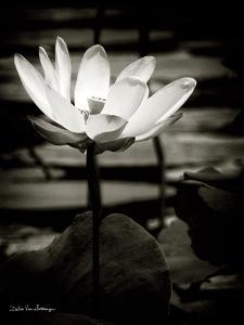 Lotus Flower VIII by Debra Van Swearingen