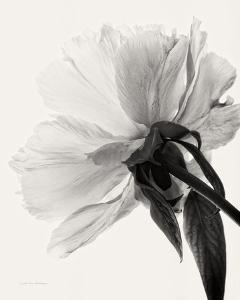 Translucent Peony III by Debra Van Swearingen
