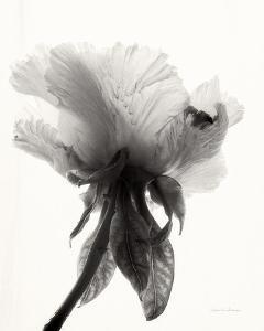 Translucent Peony VII by Debra Van Swearingen