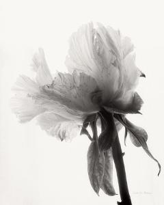 Translucent Peony VIII by Debra Van Swearingen