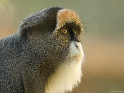 Debrazza's Monkey at the Sedgwick County Zoo, Kansas-Joel Sartore-Photographic Print