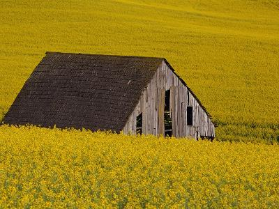 Decaying Barn and Canola Field-Darrell Gulin-Photographic Print