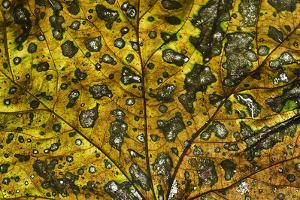 Decaying sycamore leaf, Bishops Wood Nature Reserve, Gower, South Wales (photo)