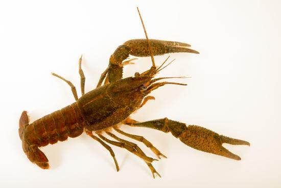 Deceitful crayfish, Procambarus fallax, collected at Beecher Springs Run-Joel Sartore-Photographic Print