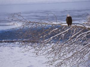 Bald Eagle, Chilkat Bald Eagle Preserve, Valley Of The Eagles, Haines, Alaska, USA by Dee Ann Pederson