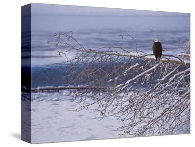 Bald Eagle, Chilkat Bald Eagle Preserve, Valley Of The Eagles, Haines, Alaska, USA