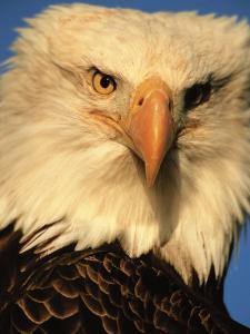 Bald Eagle in Kachemak Bay, Homer, Alaska, USA by Dee Ann Pederson