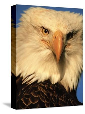 Bald Eagle in Kachemak Bay, Homer, Alaska, USA