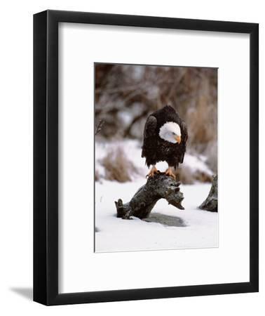 Bald Eagle Preserve, Chilkat, Alaska, USA