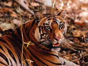 Bengal Tiger in Bandhavgarh National Park, India by Dee Ann Pederson