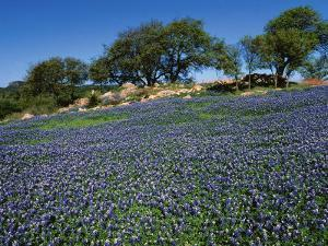 Bluebonnets, Hill Country, Texas, USA by Dee Ann Pederson