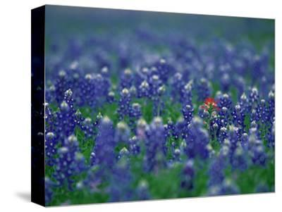 Bluebonnets, Hill Country, Texas, USA