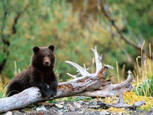 Brown Bear Cub in Katmai National Park, Alaska, USA by Dee Ann Pederson