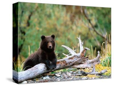 Brown Bear Cub in Katmai National Park, Alaska, USA