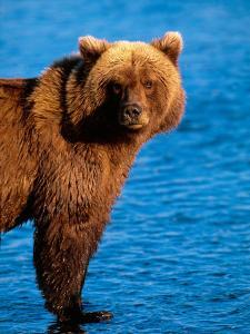 Brown Bear in Katmai National Park, Alaska, USA by Dee Ann Pederson