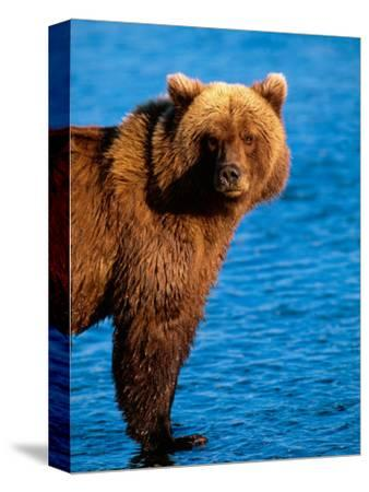Brown Bear in Katmai National Park, Alaska, USA