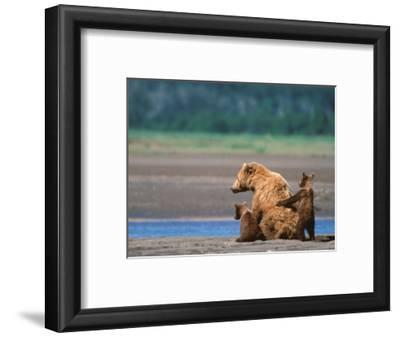 Brown Bear Sow with Cubs, Alaska Peninsula, Katmai National Park, Alaska, USA