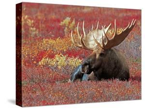 Bull Moose in Denali National Park, Alaska, USA by Dee Ann Pederson