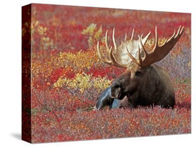 Bull Moose in Denali National Park, Alaska, USA